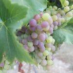le grain du raisin change pendant la véraison