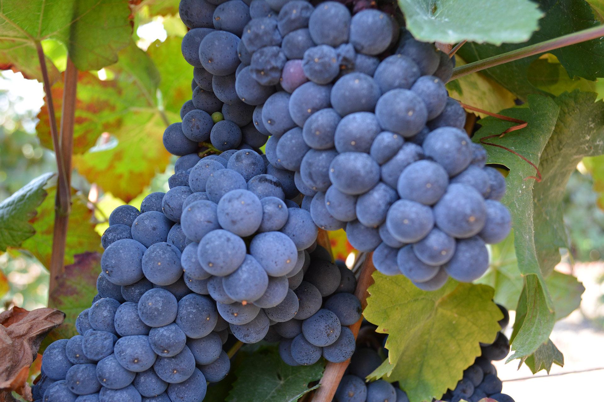 raisin dans vigne corse